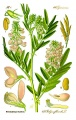 Deutchland -Illustration Galega officinalis1.jpg